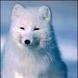 Arctic Fox's Photo